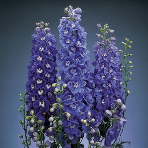 Delphiniums offer height to a garden.