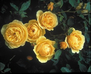 David Austin English Roses have a rich smell with more petals than other roses.