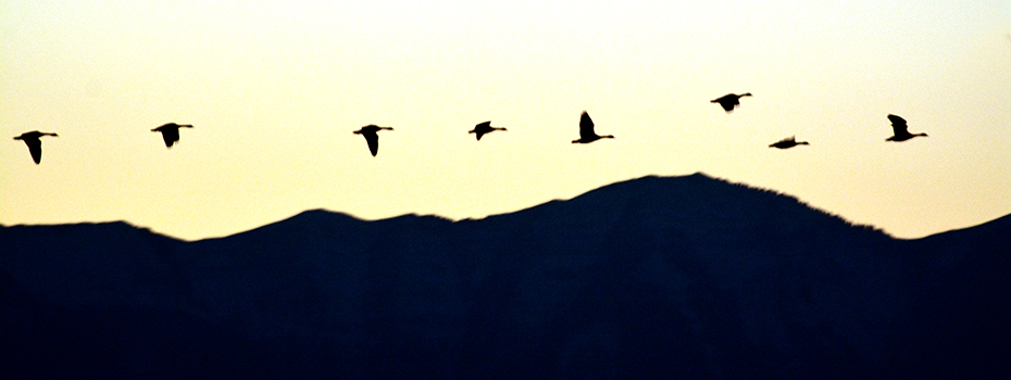 Utah Canadian geese
