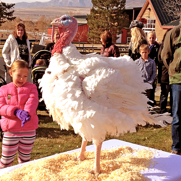 This lucky 51-pound, Norbest turkey was pardoned today by Gov. Gary Herbert at Thanksgiving Point.