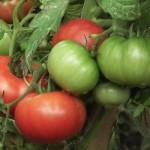 8 vegetables that will flourish in your Utah Valley garden