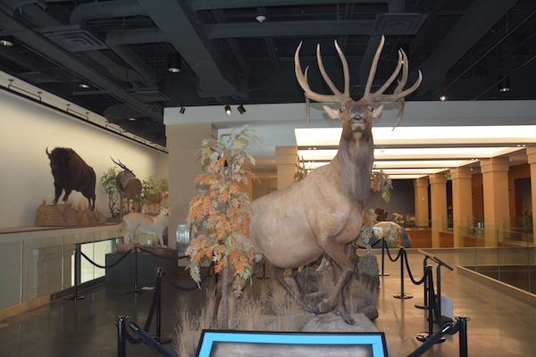 New taxidermy displays show the circle of life with their prey and predator exhibits. (Photo by Rebecca Lane)