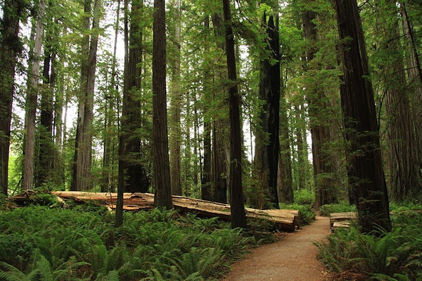 The Jedediah Smith Redwoods State Park in California (Photo courtesy Wikimedia Commons)