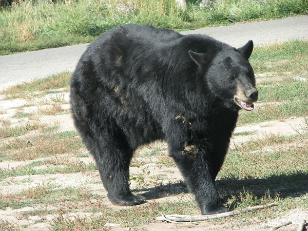 800px-American_Black_Bear