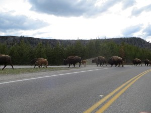 Traffic jams caused by traveling herds of bison are a common sight in Yellowstone National Park. (Photo by Christa Woodall)