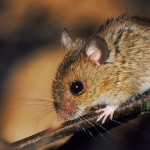 Cleaning, hiking or camping: How to avoid exposure to the deadly hantavirus