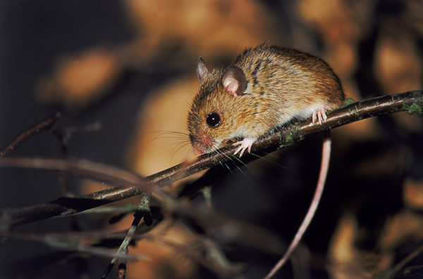 People can get the hantavirus through exposure to rodents. (Stock Photo)
