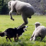 2016 Vita Bone Soldier Hollow Classic Sheepdog Competition is Olympic level of dog entertainment